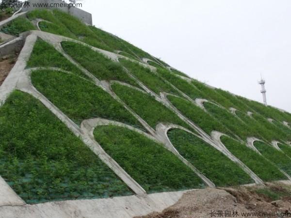 紫穗槐苗护坡绿化施工效果图片