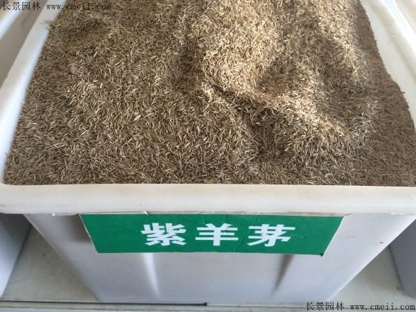 紫羊茅种子图片