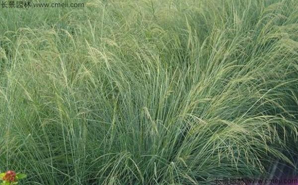 画眉草种子发芽出苗图片