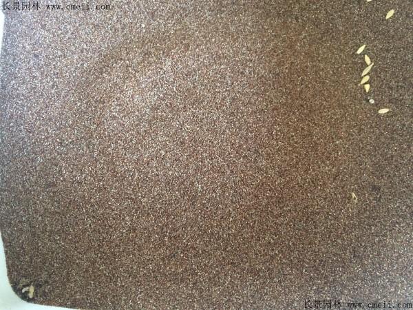 画眉草种子图片