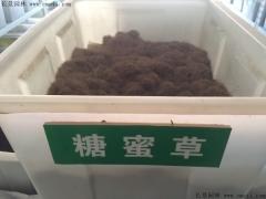 糖蜜草种子