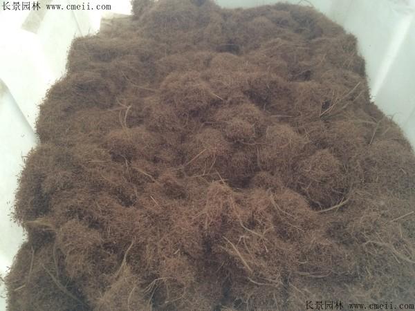 糖蜜草种子发芽出苗图片