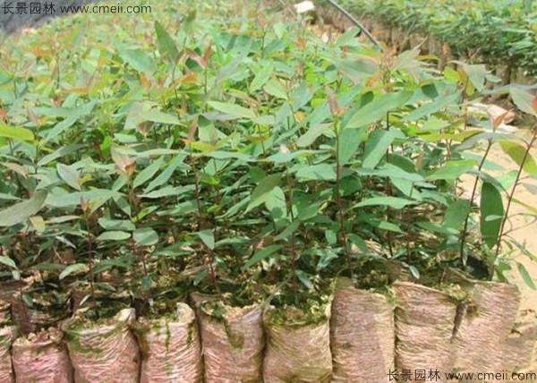 桉树种子发芽出苗图片