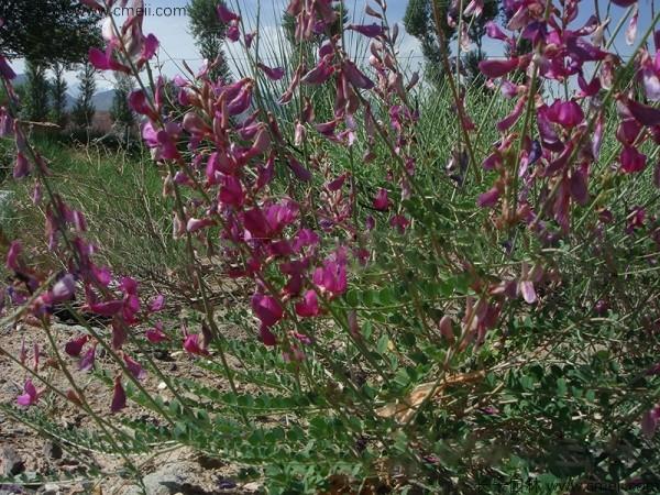 红豆草开花图片