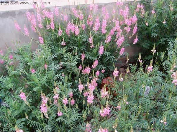 红豆草发芽出苗图片