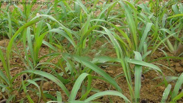 象草种子发芽出苗图片
