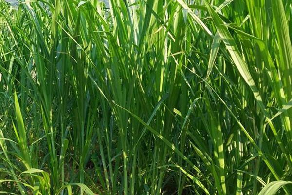 象草种子图片