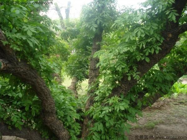 接骨木种子发芽出苗图片