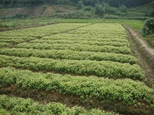 金丝楠木种子发芽出苗图片