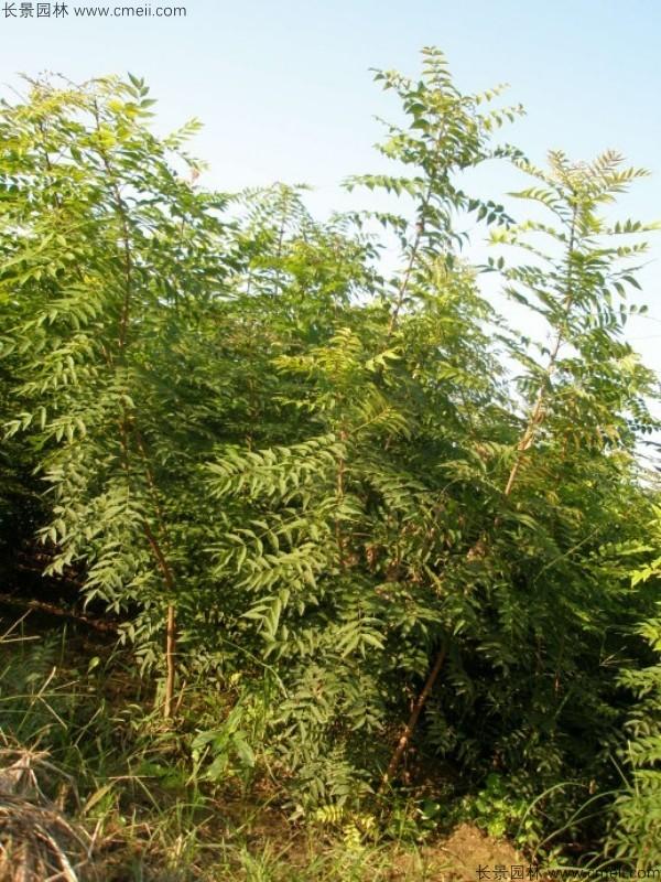 黄连木种子发芽出苗图片