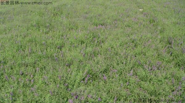 黄芩种子发芽出苗开花图片