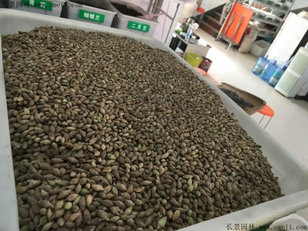 鸡冠刺桐种子图片