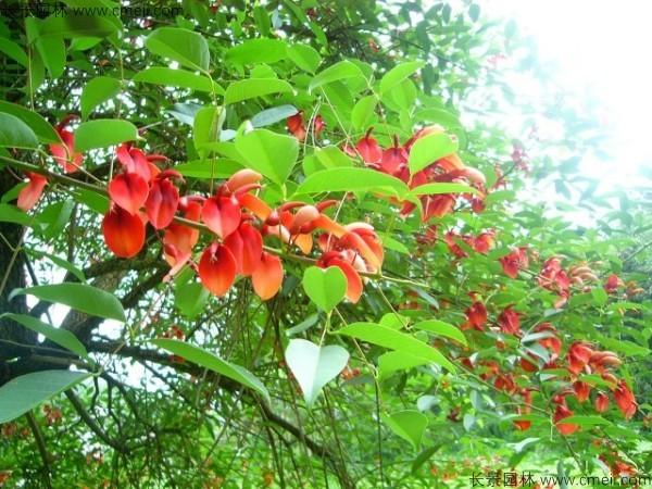鸡冠刺桐种子发芽出苗开花图片
