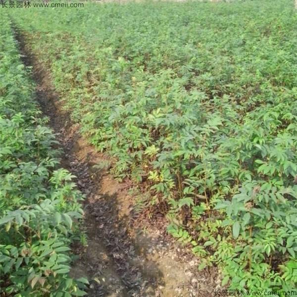 金钱柳种子发芽出苗图片