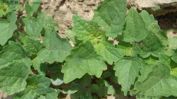 藿香种子发芽出苗图片