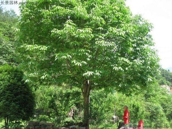 七叶树种子发芽出苗图片