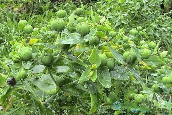 千金子种子图片