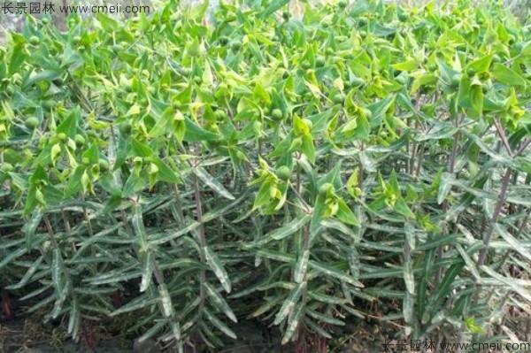 千金子种子发芽出苗图片