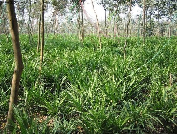 麦冬草种子发芽出苗开花图片