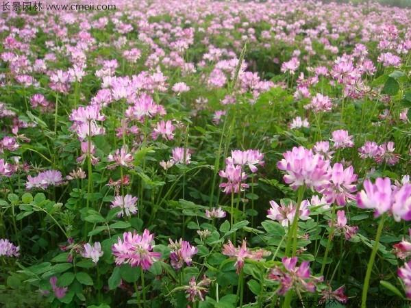 紫云英种子发芽出苗开花图片