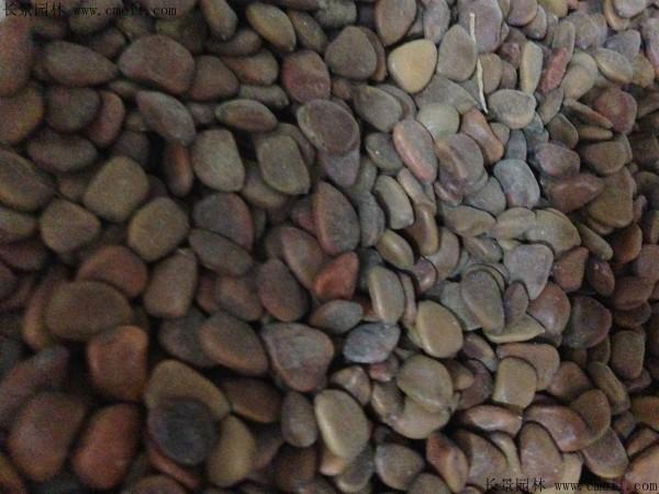 洋金凤种子图片
