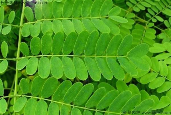 洋金凤树叶图片