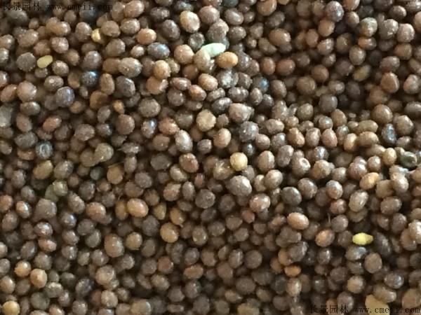 百脉根种子图片