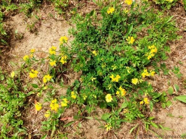 百脉根种子发芽出苗图片