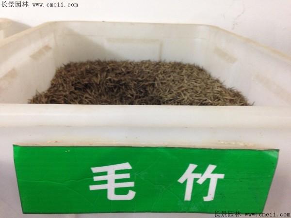毛竹种子图片