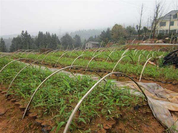 毛竹种子发芽出苗图片
