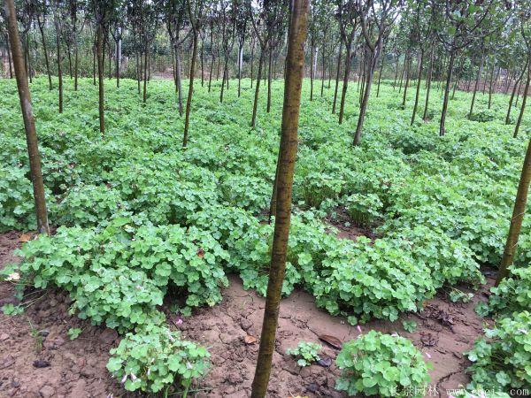 红花草种子图片