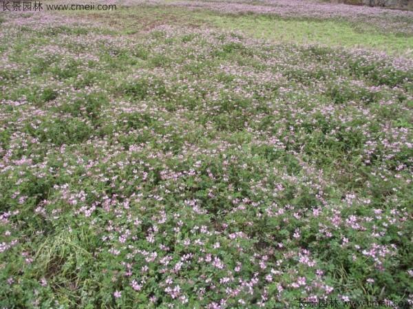 红花草种子发芽出苗开花图片