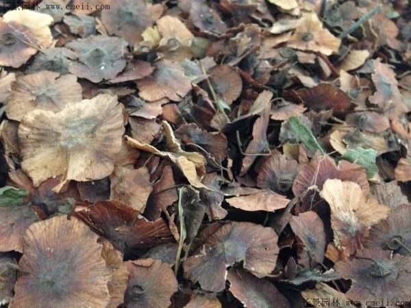 铜钱柳种子图片