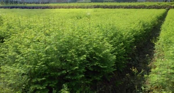 池杉种子发芽出苗图片
