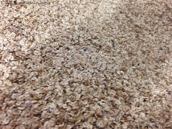 水杉种子图片