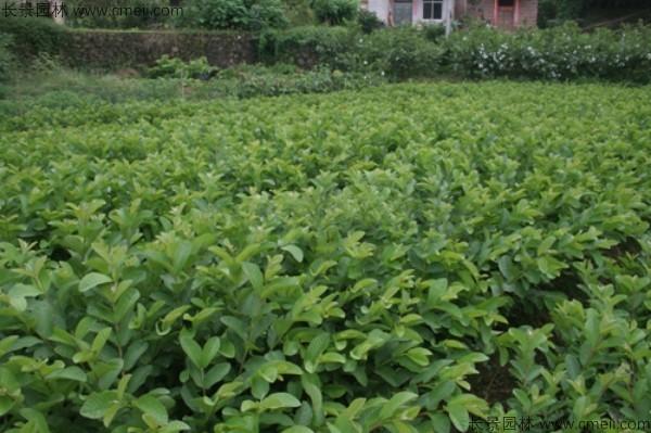 番石榴种子发芽出苗图片