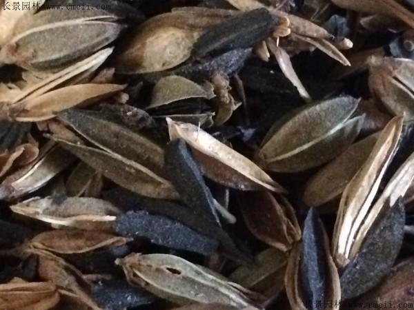 知母种子图片