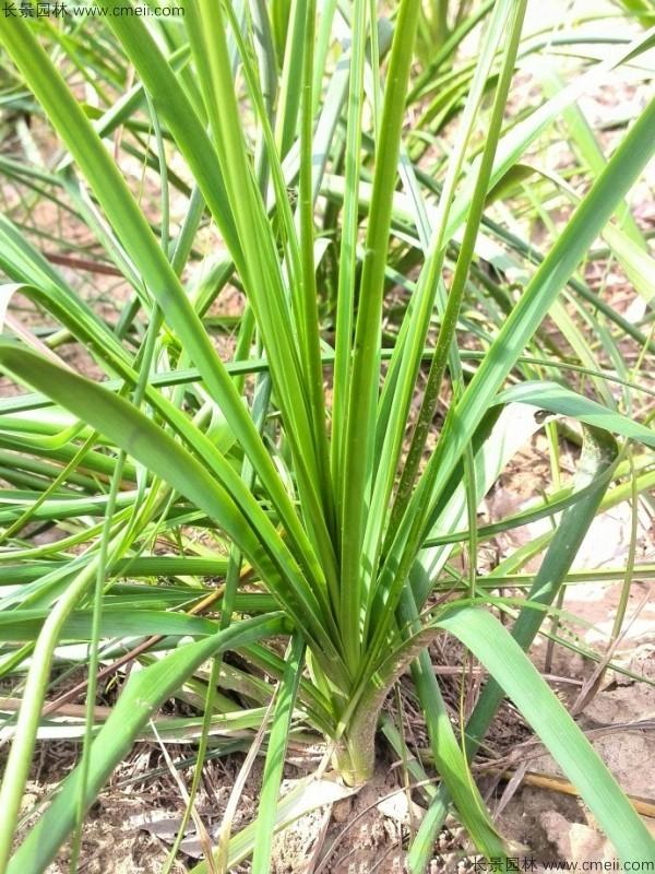 知母种子发芽出苗图片