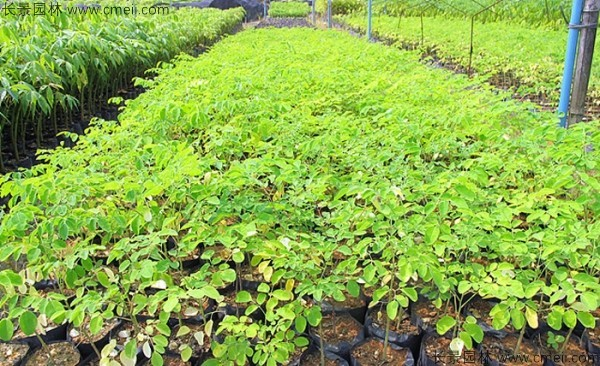 印度辣木种子发芽出苗图片