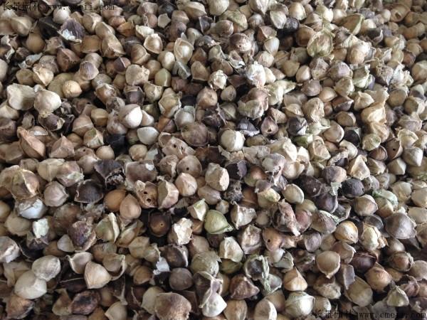 印度辣木种子图片