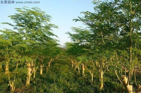 辣木树种子发芽出苗图片