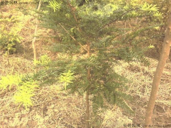 油杉树种子发芽出苗图片