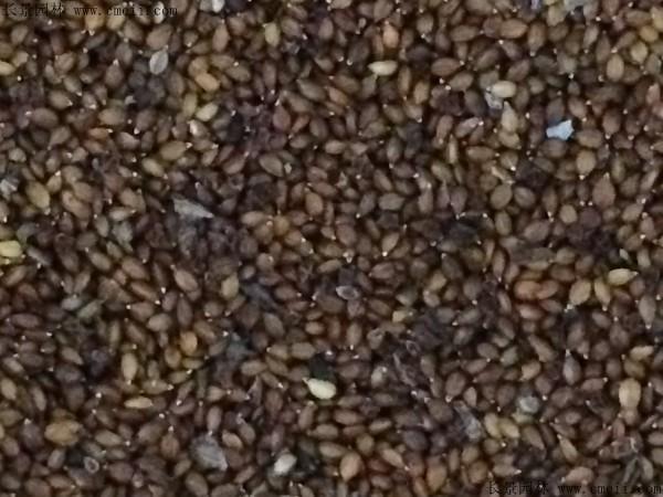 夏枯球种子图片