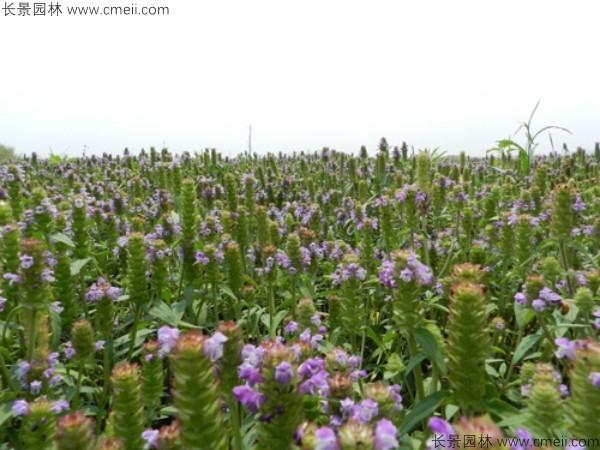 夏枯球种子发芽出苗开花图片