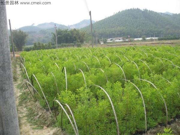 檀香种子发芽出苗图片
