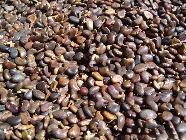 水腊水蜡种子图片