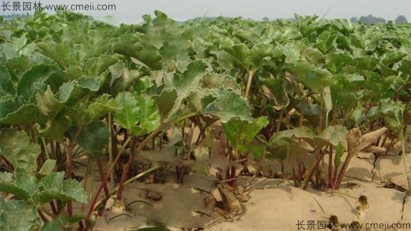 北沙参种子发芽出苗图片