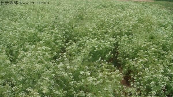 南沙参种子发芽出苗图片
