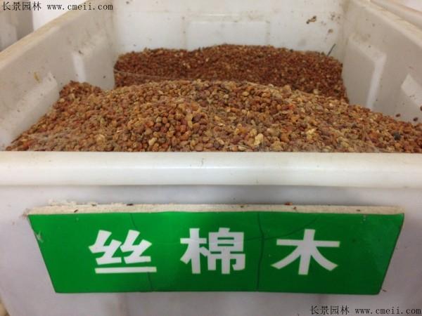 丝棉木种子图片