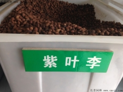 紫叶李种子